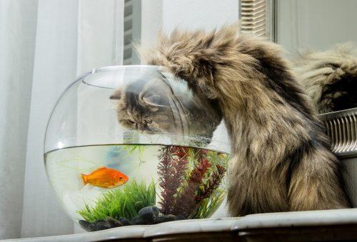 Leon, az aranyhal