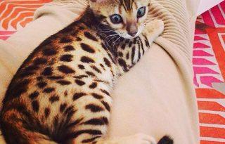 Macskanéző