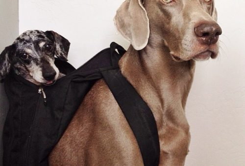 Instagram: Harlow és Sage, kutyabarátság