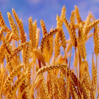 Tudj meg mindent a gabona érzékenységről