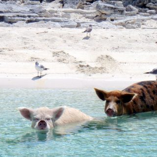 Boldogan úsznak a disznók a Bahamákon