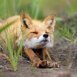 Így ébred egy rókakölyök