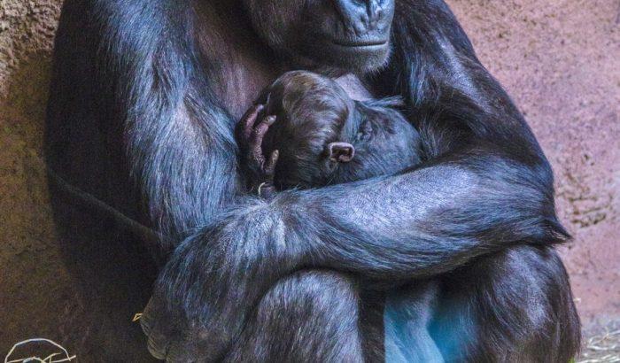 A gorillabébi-altatás nagymestere