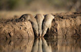 Így hidratálnak a szurikáták