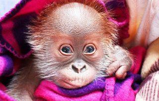 Költözik a világ legédesebb orángután bébije!