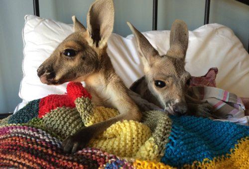Bemutatjuk Ausztrália legcukibb kis kenguruit!
