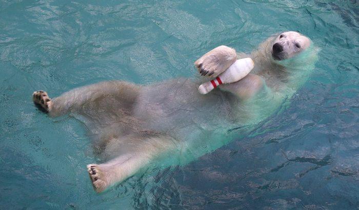 Ez a jegesmedve nagyon tud élni!