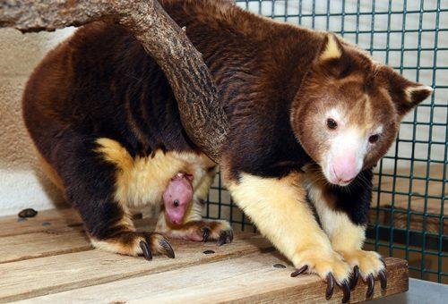 A legcukibb fakúszó kengurubébi