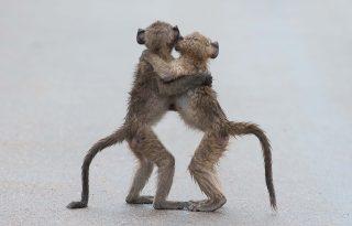 Ha egy majompár tangózik