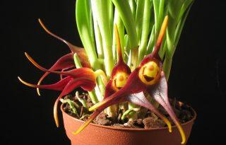 Az inkák kincse az orchidea kiállításon