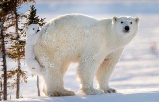 A legédesebb jegesmedvebocs