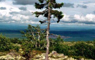 Nézd meg, hogyan néz ki egy 9500 éves fa!