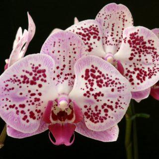 Aki az orchideát szereti
