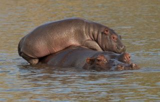 Napi cuki: mamája hátán utazott a bébi víziló
