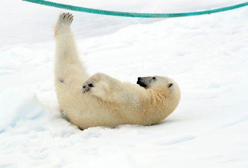 A legjátékosabb jegesmedve