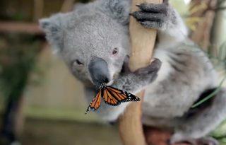 A bébikoala és a pillangó: nem mindennapi barátság