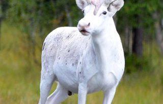 Mesebeli hófehér szarvast fótoztak