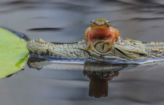 A krokodil, mint folyami hajós
