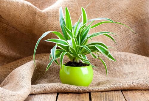 A top 5 légtisztító növény, amivel csökkentheted a toxikus anyagok mennyiségét!