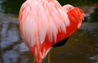 Szívnek állt flamingó