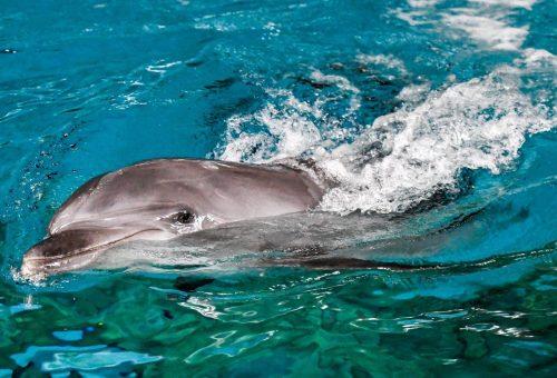 Kóbor delfinek leltek új otthonra Kínában