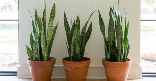 3 szobanövény, ami még az alvásban is segíthet