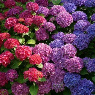 Keltsük életre a kerti hortenziánkat