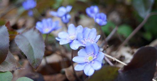 Gyere velem vidékre: a tavasz első virágai