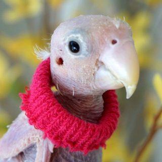 Tűzpiros sál tartja melegen Rheát, a toll nélküli kis papagájt