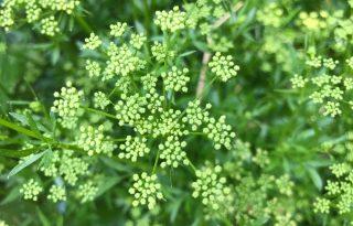 Újraveti magát évről-évre – konyhakerti növények lustáknak
