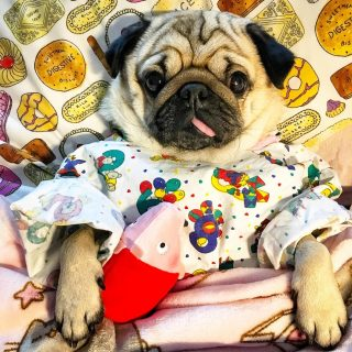 Pizsamában alszik a terápiás mopsz