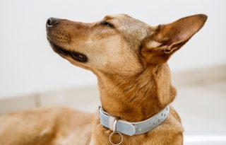 David Bowie által inspirált menő kutyacuccok