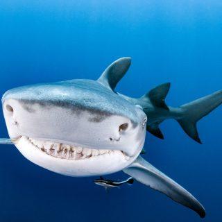 A legszebb mosolyú cápa