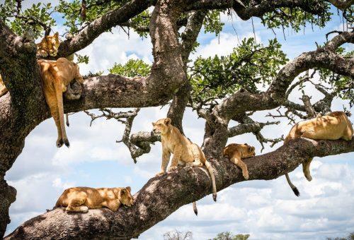 Így néz ki egy faág csurig oroszlánokkal