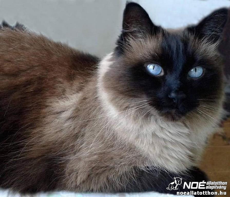 6. kép: Jockey a perzsa cica