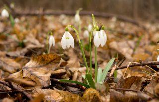 Gyere velem vidékre: kora tavaszi tájkép - eső, hóvirág és szélmalmok