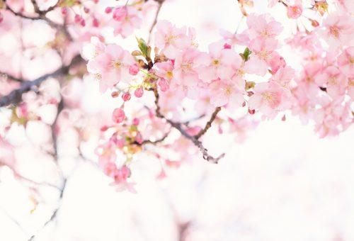 Beindult a sakura: 7 izgalmas tény a cseresznyevirágzásról