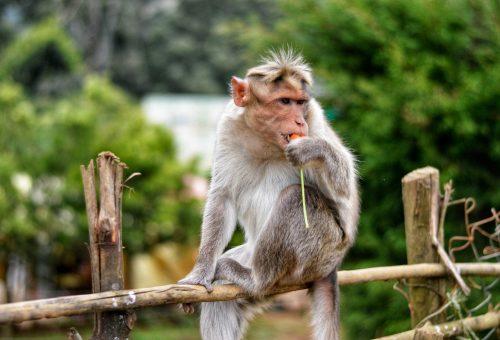 A majmok is a mediterrán diétára esküsznek
