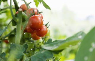 Hogyan babusgassuk a bioparadicsomot?