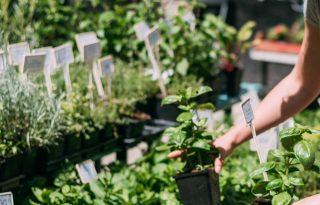 Városban, zöldben: lakásban sem lehetetlen életben tartani a fűszernövényeket!