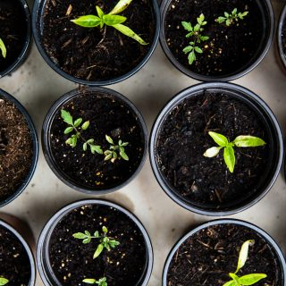 5 konyhai maradék, amiből új növényt nevelhetünk
