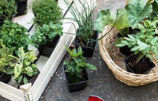 3 hiba, amit a fűszernövények gondozásakor elkövethetsz