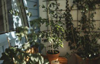 Így ellenőrizhetjük, hogy szomjazik-e a szobanövényünk