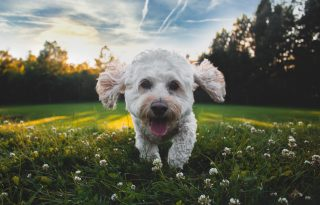 Viszkető tappancs és könnyező szemek: a kutya is lehet allergiás