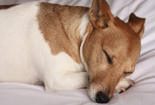 A kutyák is álmodnak – a gazdájukról