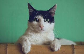 Sokkal több a koronavírusos macska, mint gondolták