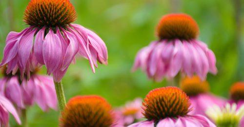 4 gyógynövény, ami erősíti az immunrendszert