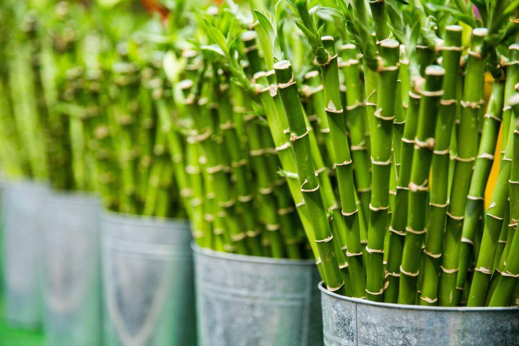 bambusz szépség fenntarthatóság