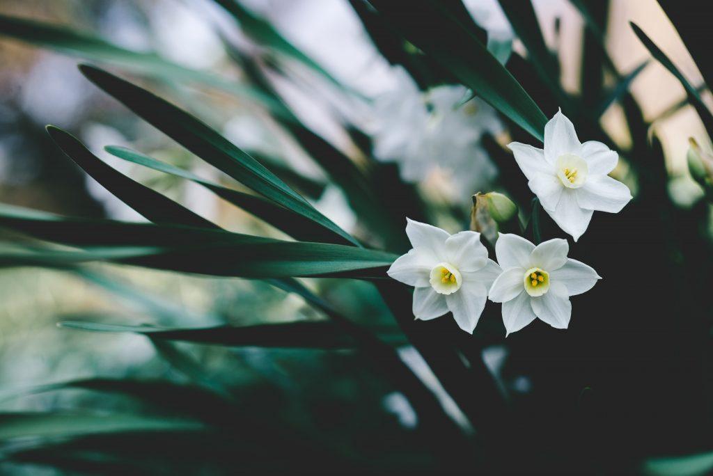illatos-szobanoveny-virag