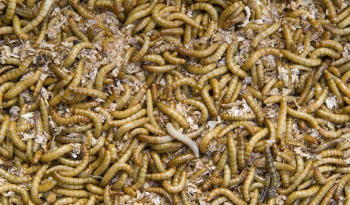 A lisztkukac alkalmas az emberi fogyasztásra – ha lesz aki megeszi